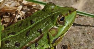 frog-166010_1280